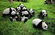 Know Why Chengdu Panda Tour is Going to be One Memorable Trip for Every Age Group