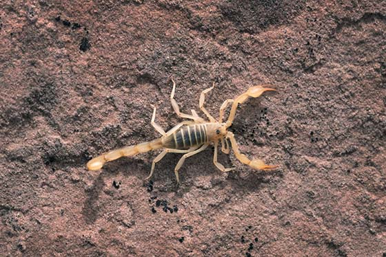 About The Scorpion and Hiring Pest Control to Eradicate Them