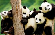 See Pandas Live in Action: Things to See during Sichuan Panda Tours